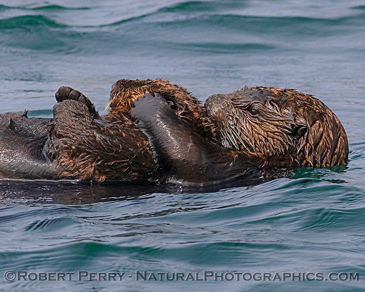 Enhydra lutris mother & pup CLOSE 2019 09-16 Morro Bay-347