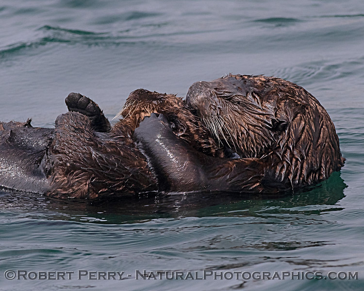 Enhydra lutris mother & pup 2019 09-16 Morro Bay-345
