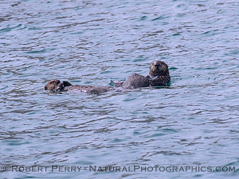 Enhydra lutris mother & pup 2019 09-16 Morro Bay-311