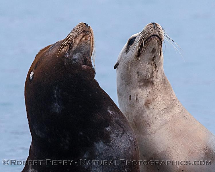 Zalophus californianus on dock 2019 09-16 Morro Bay-042