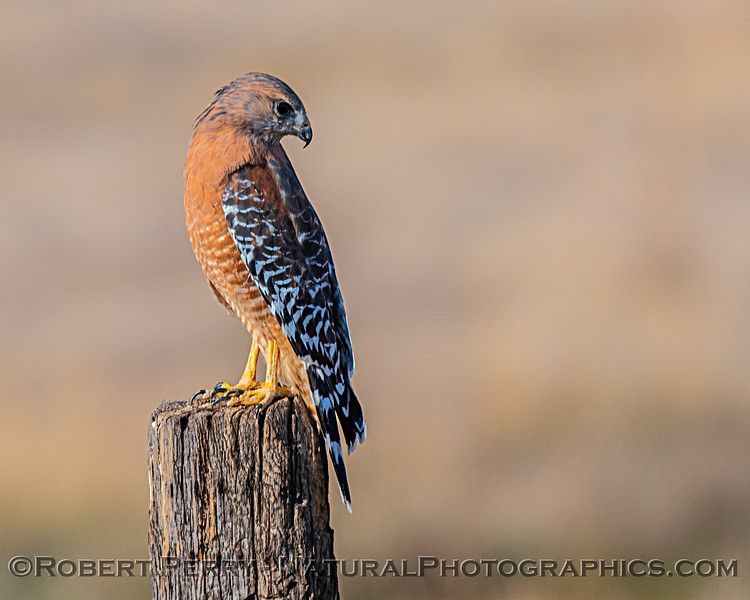 "My ""tied for first place"" favorite hawk, the red-shouldered hawk. (Tied with ferruginous hawk)"