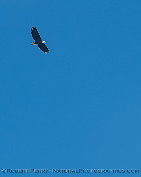 Bald eagle, up very high...soaring