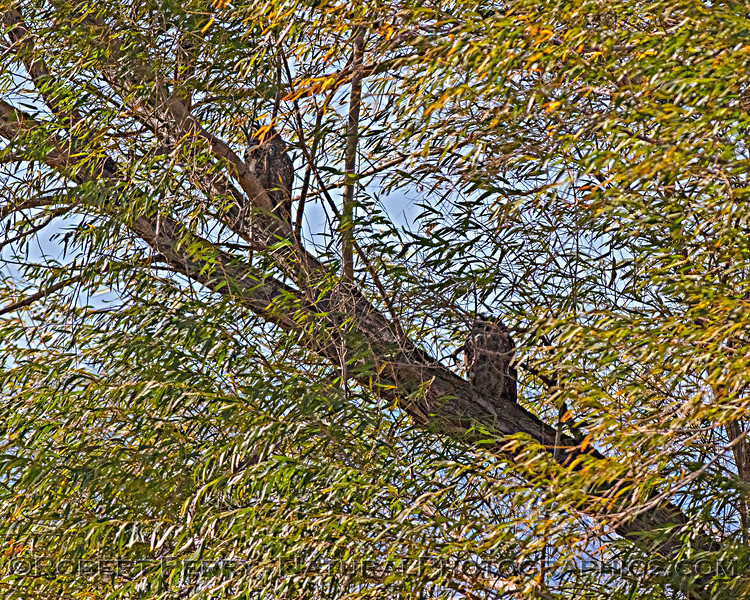 A pair of well camouflaged great horned owls.