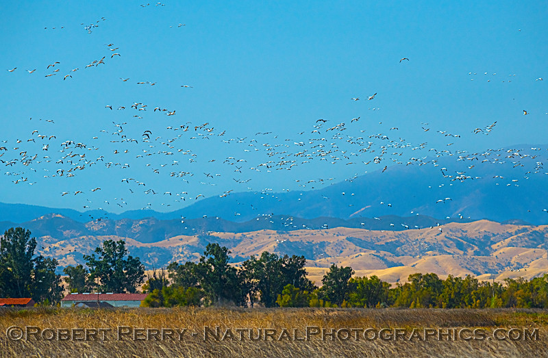 Wetlands scene with snow geese.
