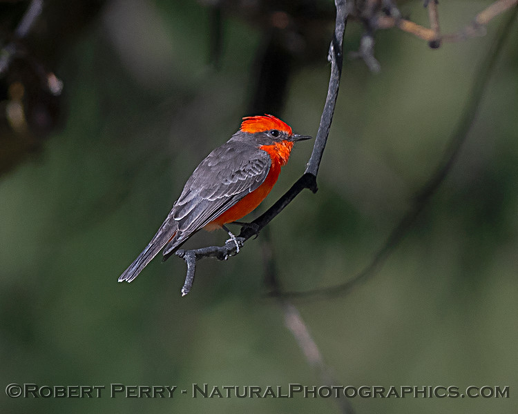 Vermillion flycatcher. This bird migrates to Mexico or Central America and returns to the Maxwell Cemetery every year.