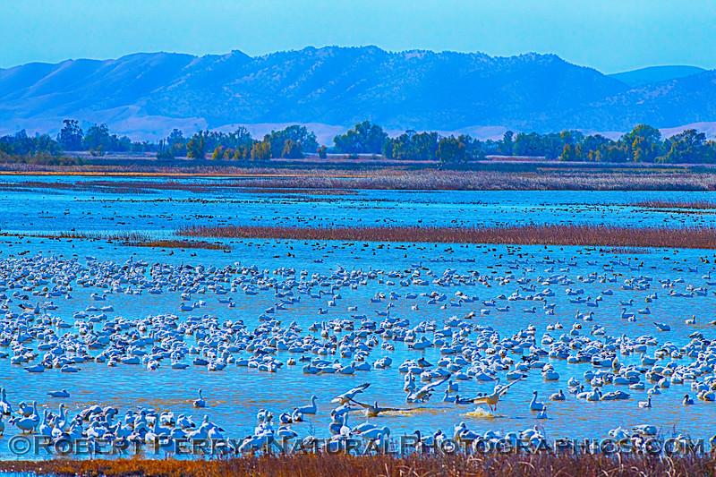 A blue wetlands scene with loads of snow geese.