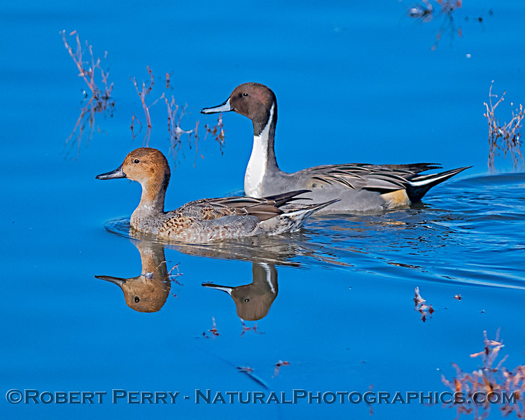 Mr. and Mrs. northern pintail ducks