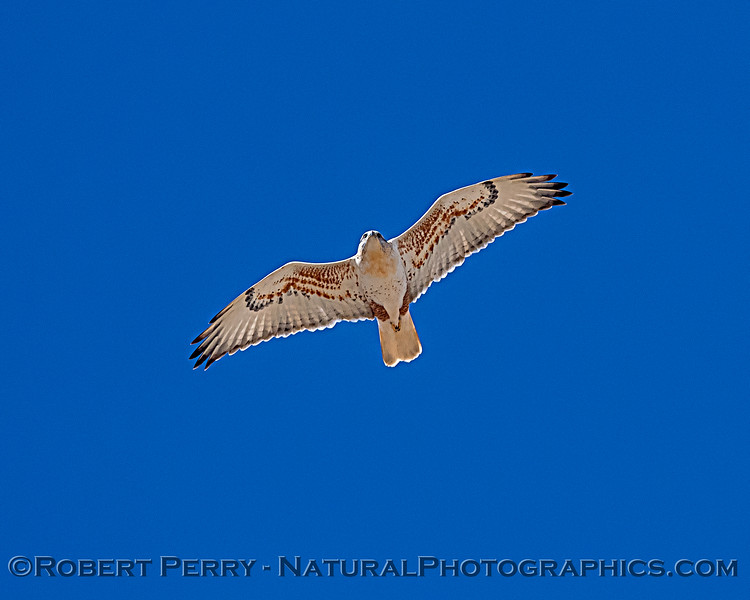 Ferruginous hawk fly-over