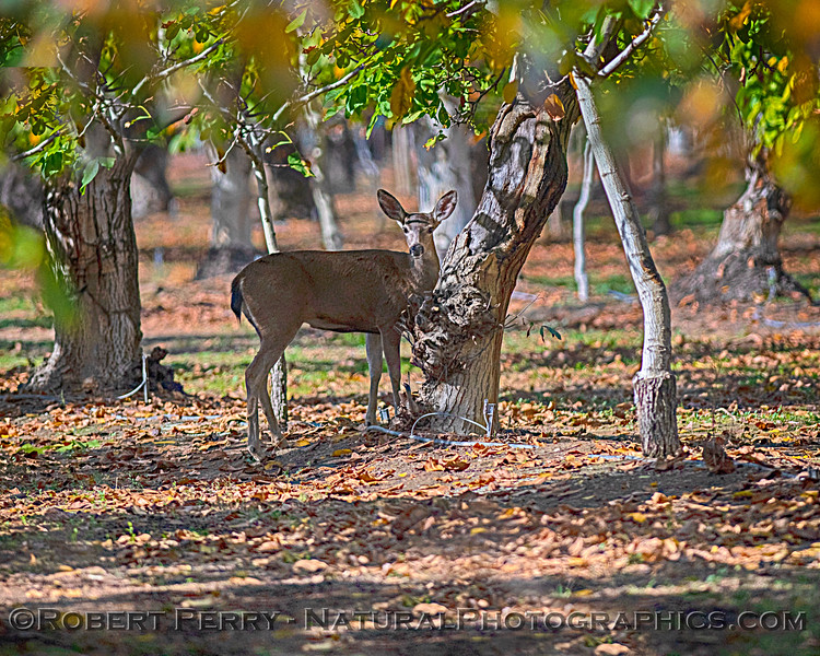 Mule deer in orchard.
