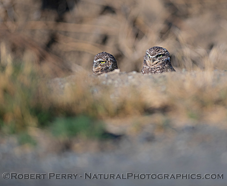 Burrowing owls in Yolo County