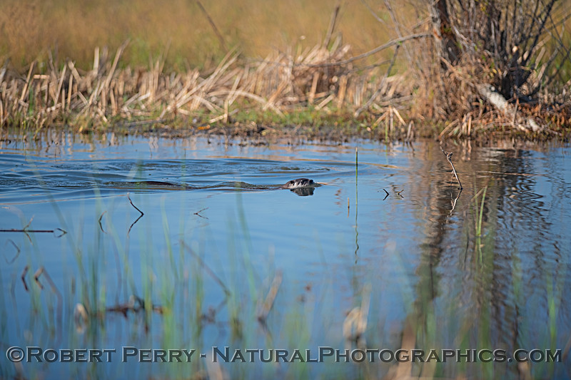 River otters in the wetlands