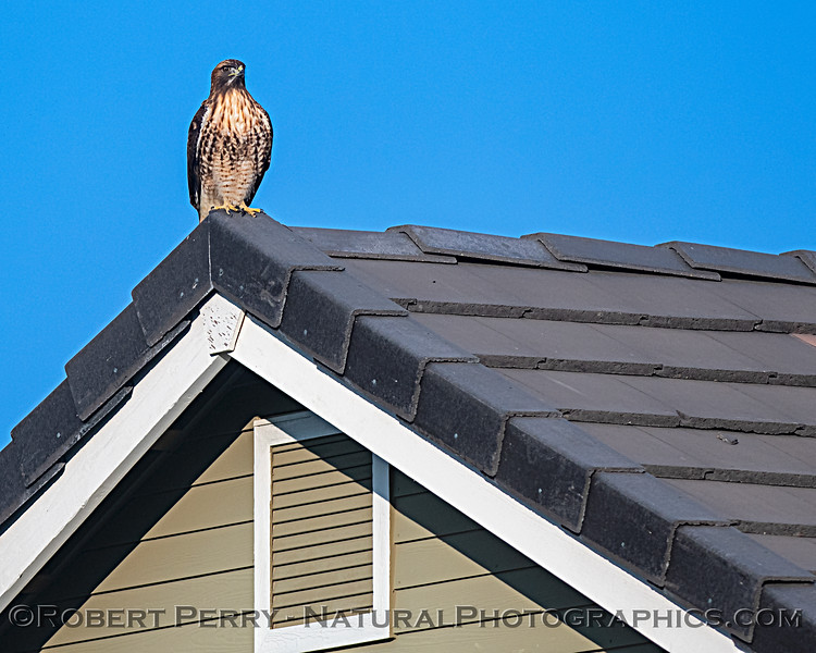 Red-tailed hawk on my neighbor's roof.