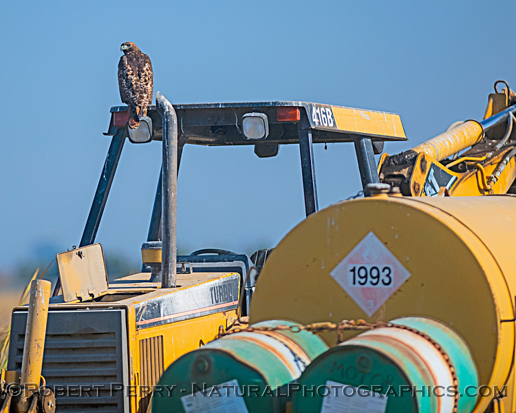 Red-tailed hawk on farm equipement in Yolo ByPass Wildlife Refuge