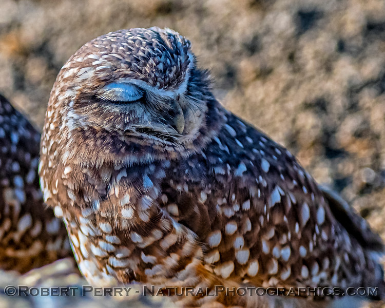 Burrowing owl in Yolo County