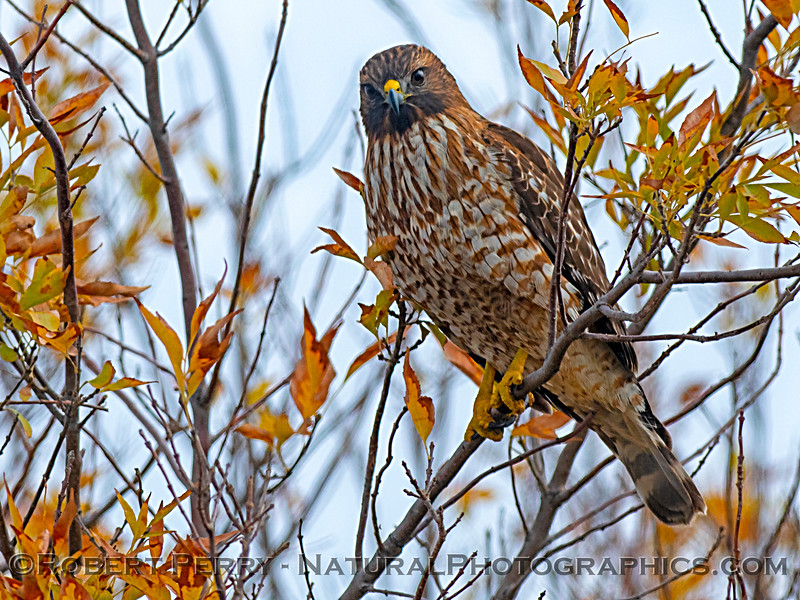 Autumnal colored red-tailed hawk.