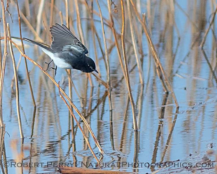 A black Phoebe is, after all, a flycatcher.