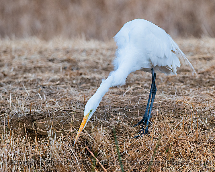 Great (white) egret, hunting.