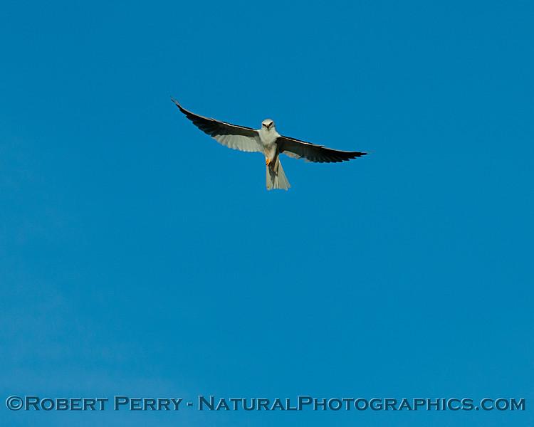 Preparing to hover - white-tailed kite