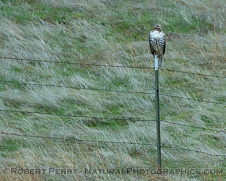 Red-tailed hawk on fence post.