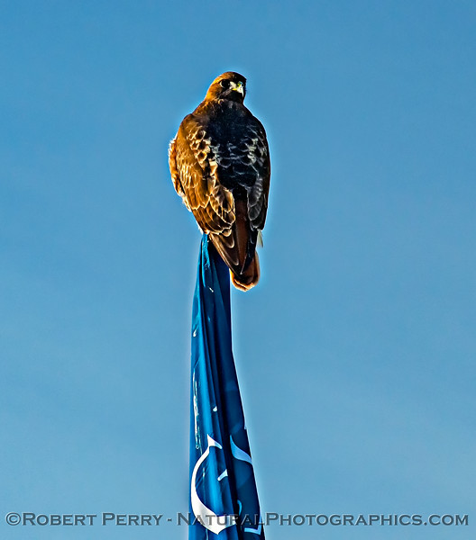 Same hawk on flagpole - view of back.