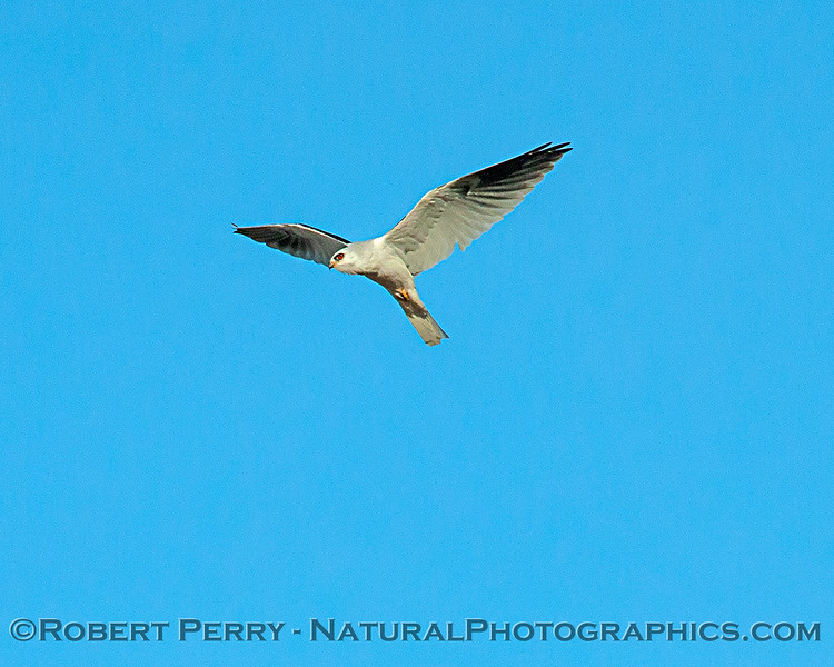 A white-tailed kite keeps its red eye on the camera.