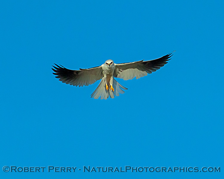 Hovering white-tailed kite
