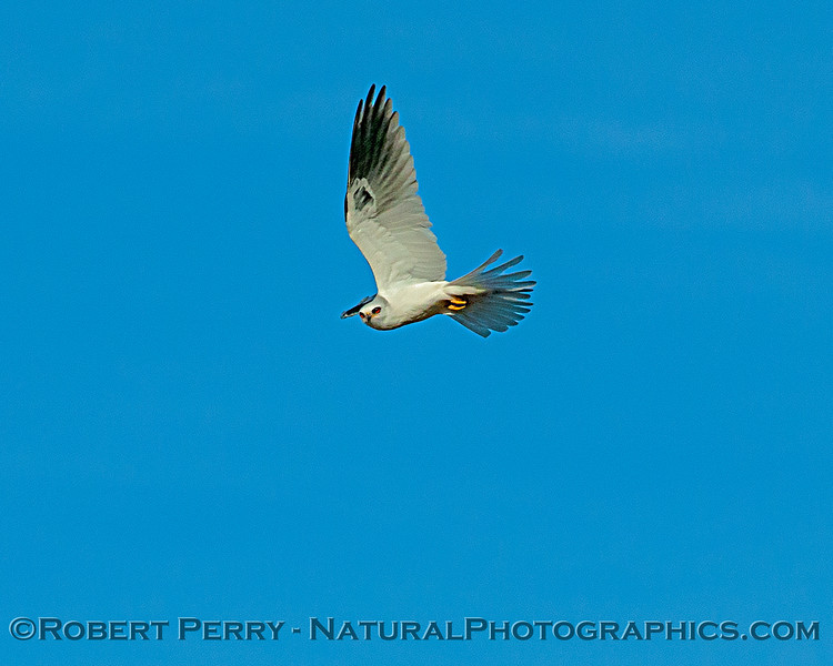 A white-tailed kite shows some wing.