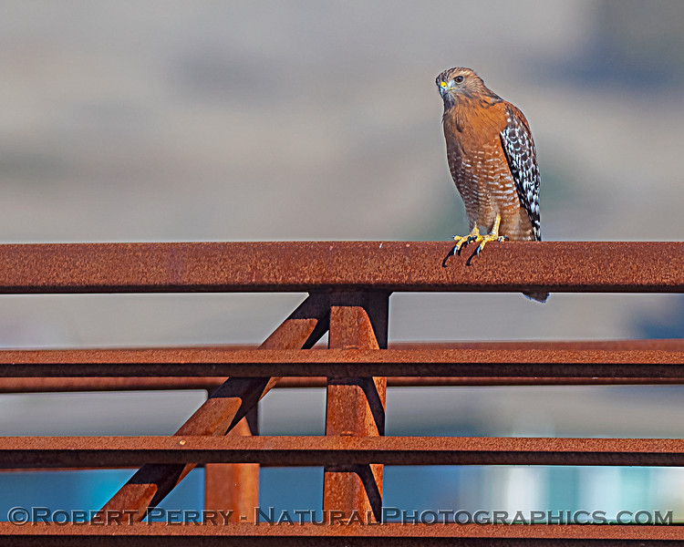 Red-shouldered hawk - iron railings of bridge.