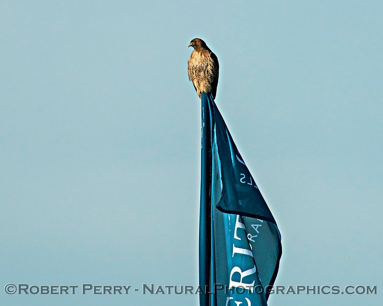 Red-tailed hawk on flagpole.