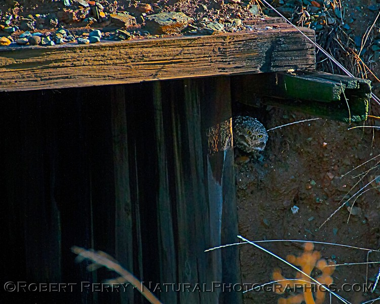 Burrowing owl in its hidee-hole.
