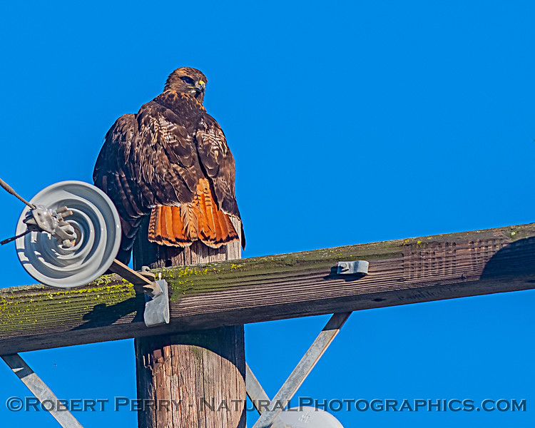 Buteo jamaicensis BIG on telephone pole 2019 12-08 Meiss Rd--001