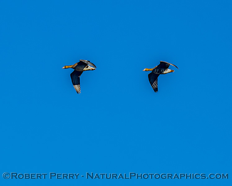 A pair of greater white-fronted geese in flight.