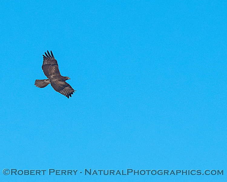 Northern harrier in flight.