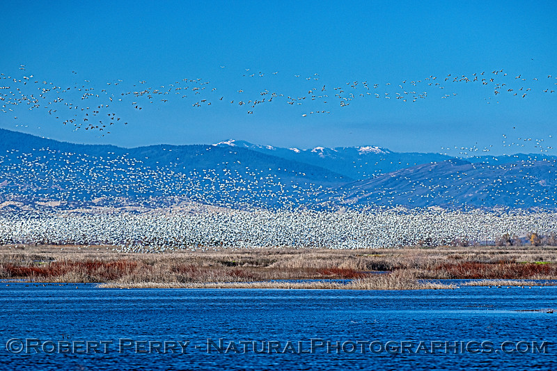Mass of snow geese in the wetlands.