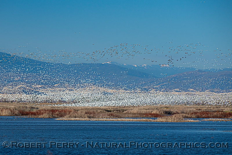 Waves of snow geese and Snow Mountain.