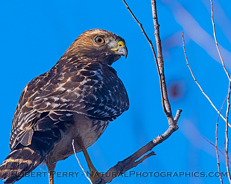 A close look at a red-shouldered hawk.