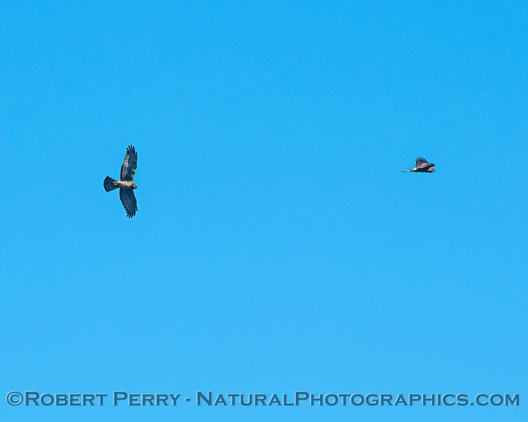 A pair of northern harriers interacting.