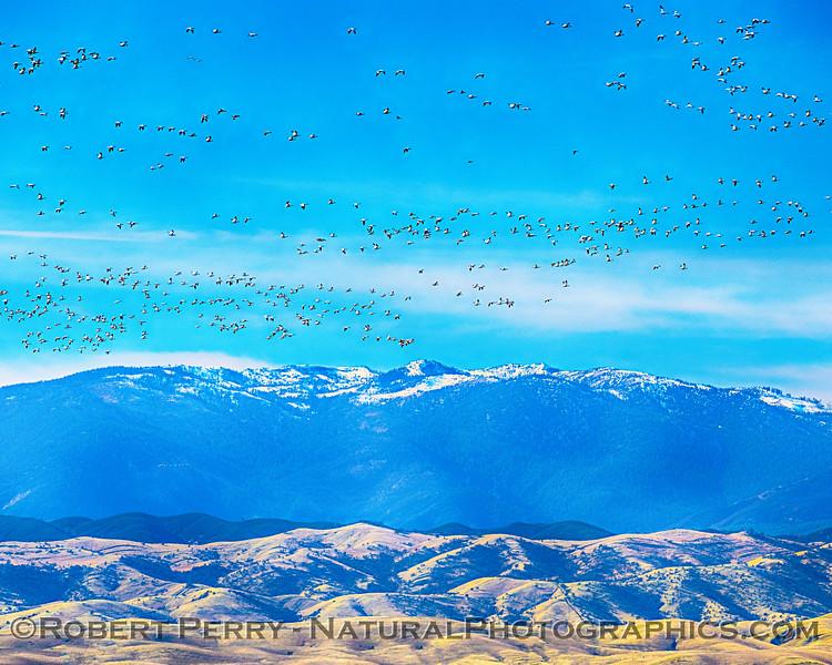 Snow geese, Snow Mountain.