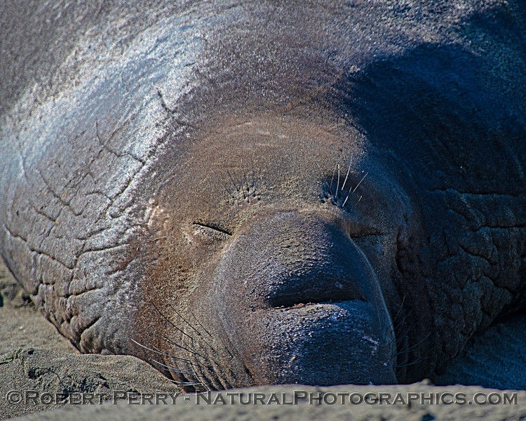 A bull elephant seal asleep in the warm sand and sun.