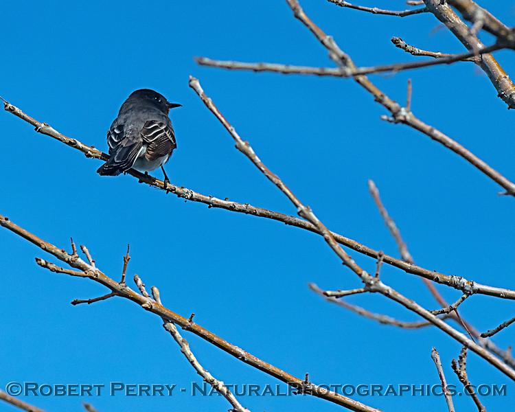 Sayornis nigricans Black phoebe in tree 2020 01-14 Sac NWR--014