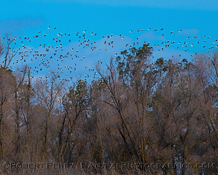 Chen caerulescens group fly over trees 2020 01-14 Sac NWR--028