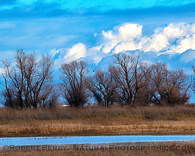 wetlands scenery 2 Haliaeetus leucocephalus in trees 2020 01-14 Sac NWR-b-010