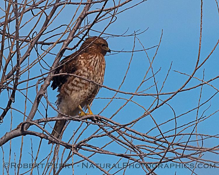 Buteo lineatus JUV in tree 2020 01-14 Sac NWR--018