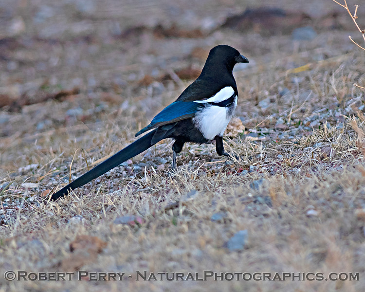 Pica hudsonia Black-billed magpie on ground 2020 01-23 Carson Valley NV--002