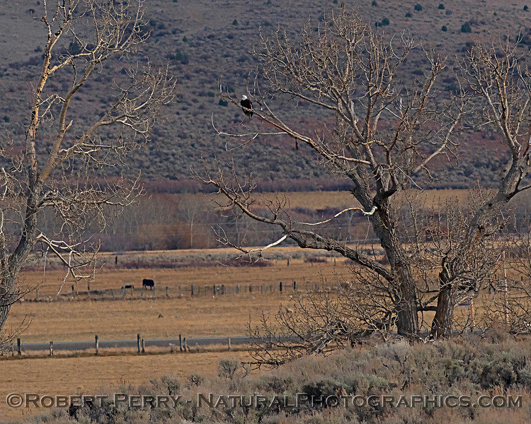Bald eagle in tree - distance shot.