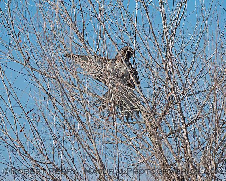 Red-tailed hawk in tree with odd wing positions.