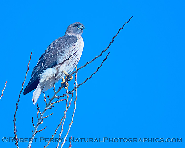 Red-tailed hawk in bright sun.
