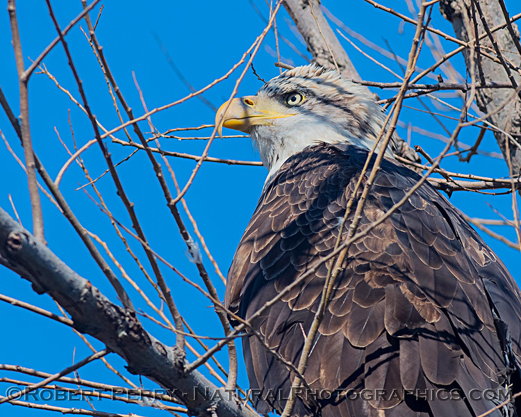 Closer look at the previous eagle in the middle of bare tree branches.