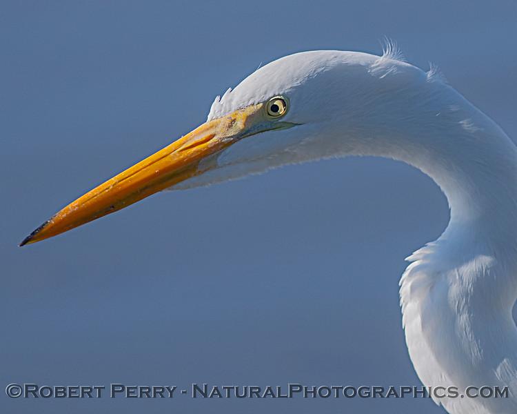 Great white egret portrait.