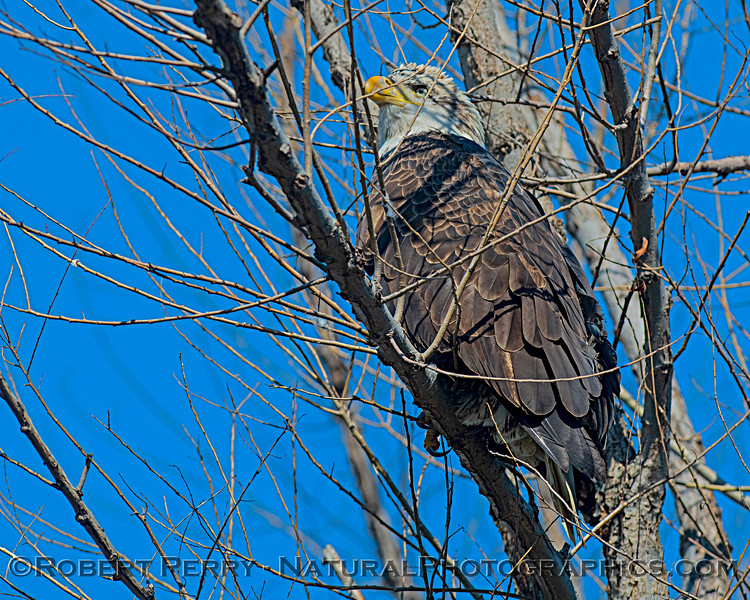 4th or 5th year bald eagle buried in a tree.